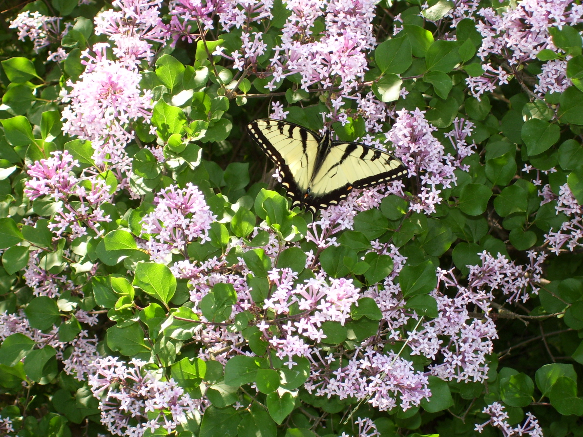 butterfly on Dwarf Korean Lilac flower