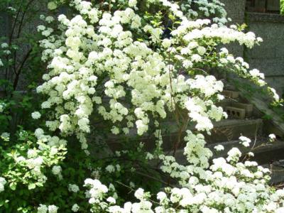 vanhoutte spirea flowers